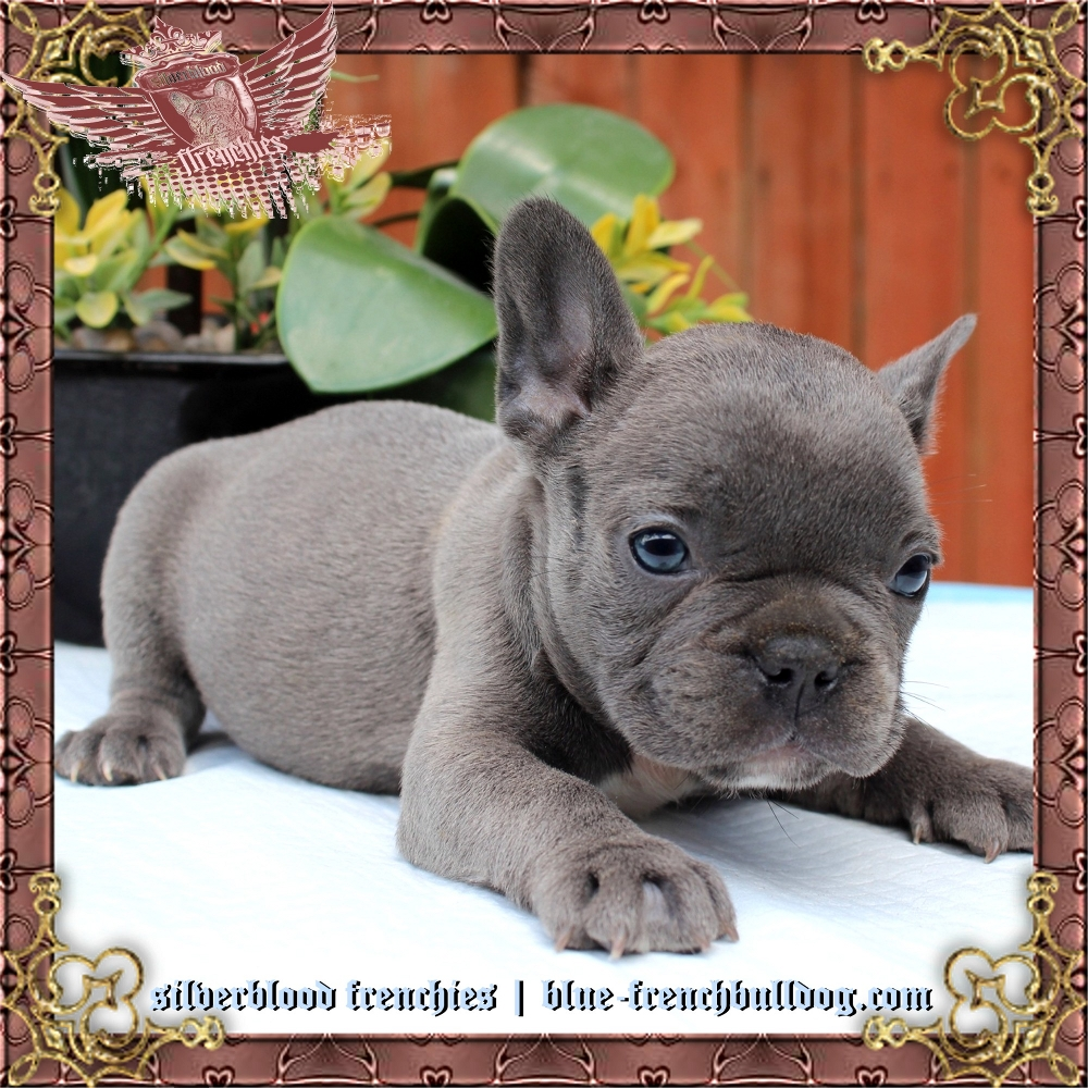 Silverblood Frenchies Blue And Tan French Bulldog Puppies For Sale