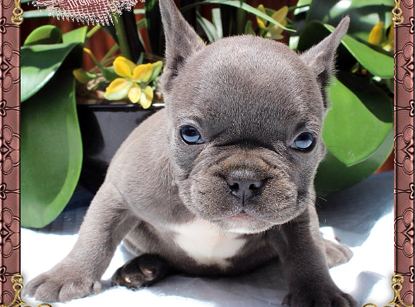 Gallery Silverblood Frenchies Blue French Bulldog Puppies